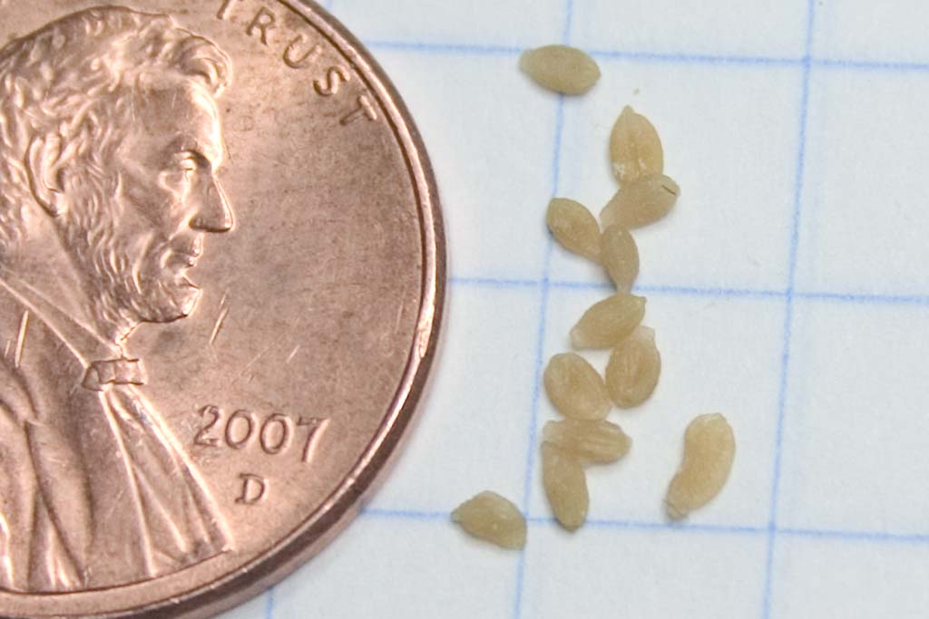 Cat Flea Larvae http://www.catforum.com/forum/38-health-nutrition/110386-anybody-know-what-these.html